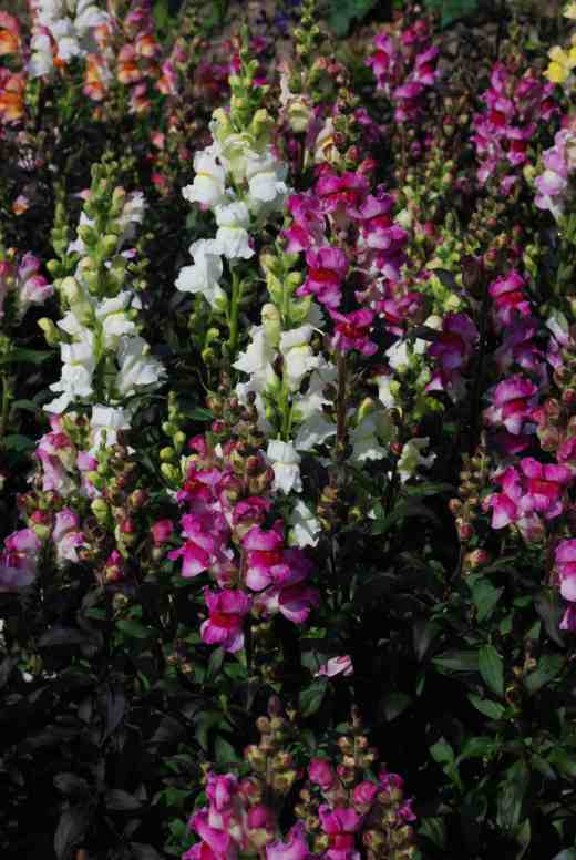 The best plants have dark foliage and pink or white flowers