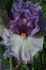 Iris 'Belgian Princess' - who wouldn't fall in love?