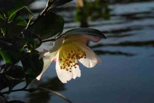 camellia sasanqua rainbow2