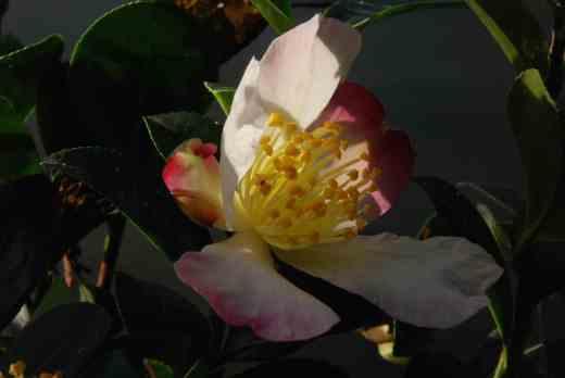 camellia sasanqua rainbow3