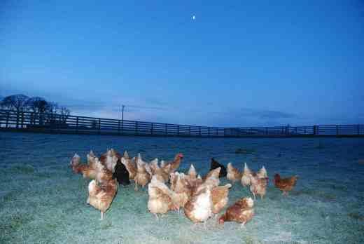 Hens getting their breakfast
