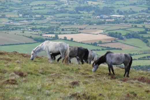 mount leinster slieve bawn ponies