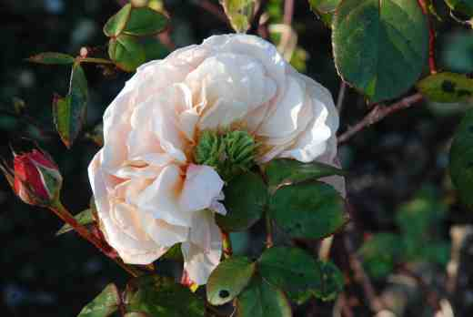 Roses are the commonest place to see phyllody, with green, 'button' centres or leaf-like growth