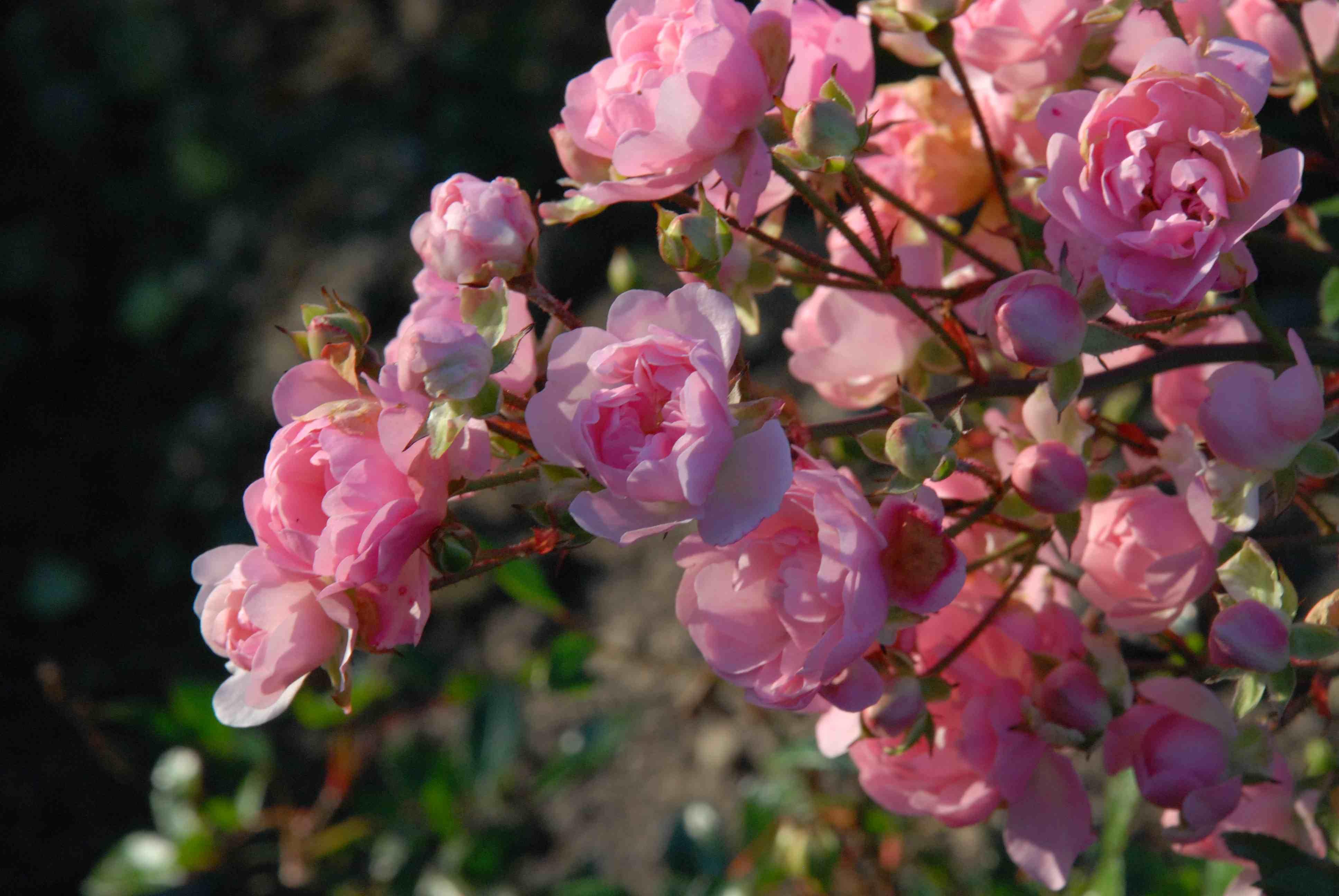 plant of the week rose the fairy the biking gardener. Black Bedroom Furniture Sets. Home Design Ideas