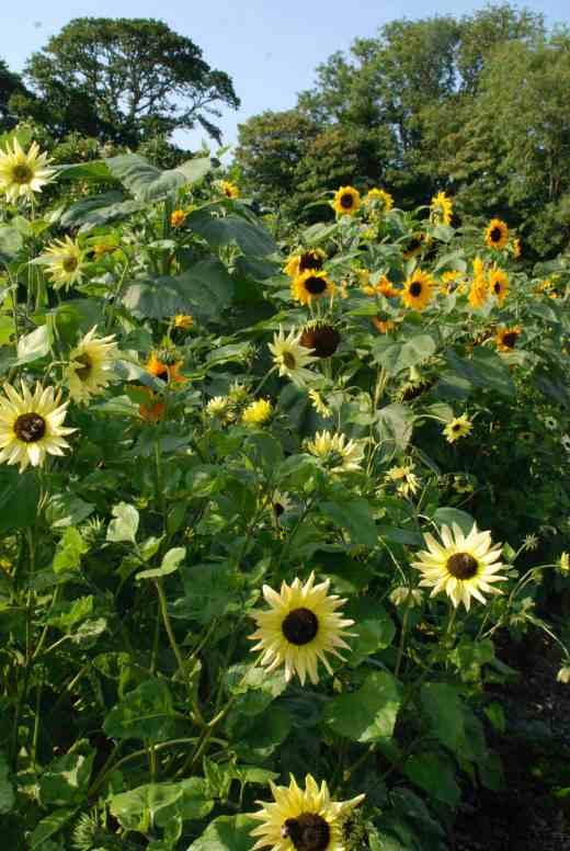 The smaller sunflowers were in full flower on August 26