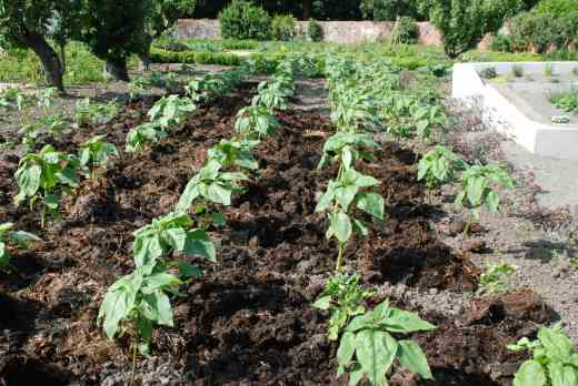 July 4 - being mulched, about two weeks after planting