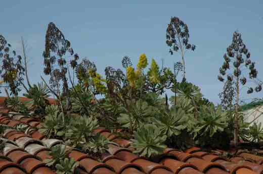 Aeoniums growing 'wild' on rooftops