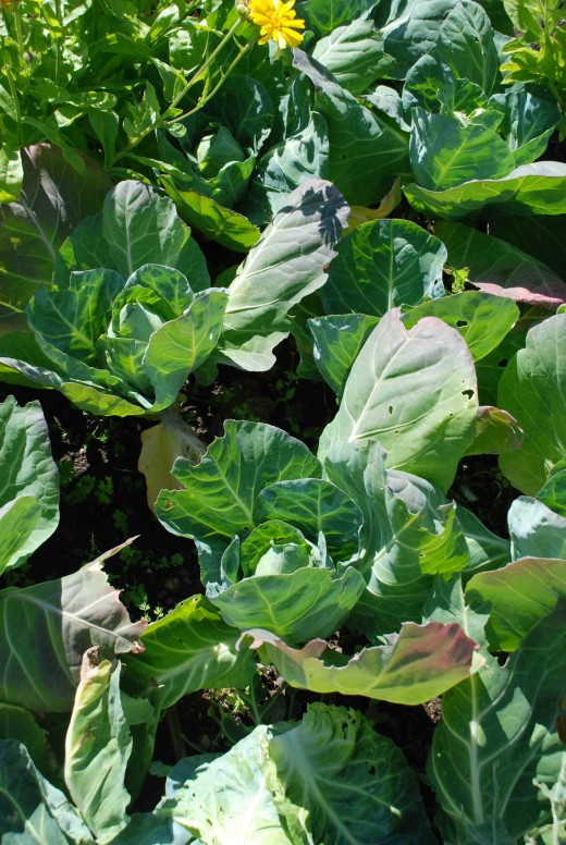cabbage clubroot