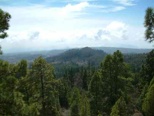 The Canary pine forest