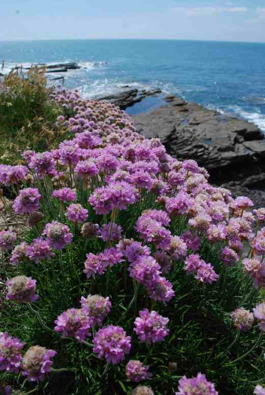 Armeria maritima (thrift) is only found by the coast in the wild but can easily be grown in gardens in well drained soil. But it is a rare treat to see plants in the wild and this is among our most showy natives