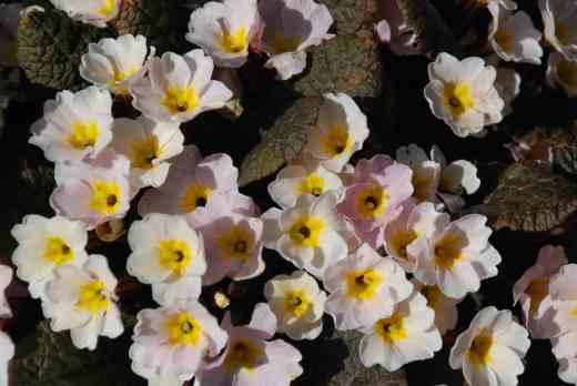 Irish primrose 'Drumcliff'