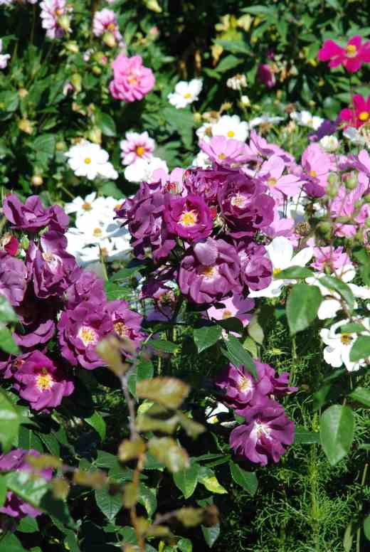 'Rhapsody in Blue' with cosmos and lavatera