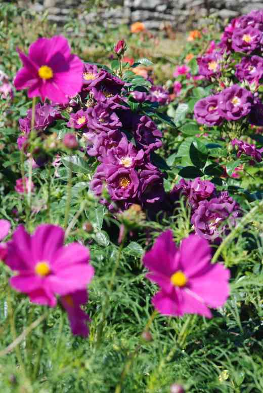'Rhapsody in Blue' with more cosmos!