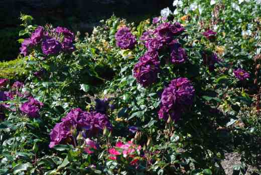 The first flush of 'Rhapsody in Blue' in early July