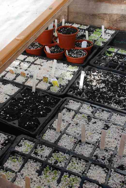 The prop bench packed with seeds. I tend to cover seeds with Perlite to allow light to reach those seeds that need it but keep the seeds moist