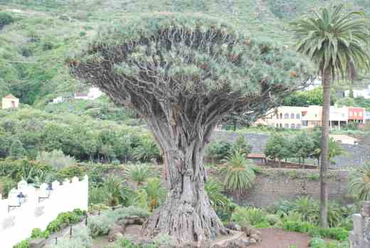 oh - and the Drago Millenario - the thousand year old (maybe) dragon tree (Dracaena draco) at Icod de los Vinos