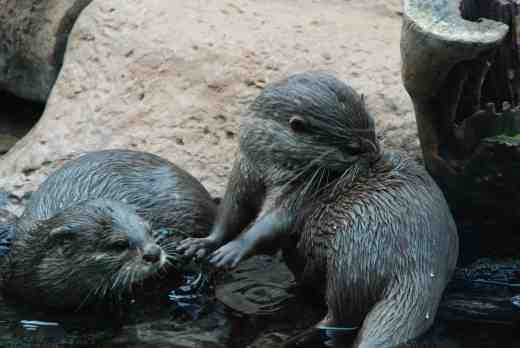 Though otters move quicker