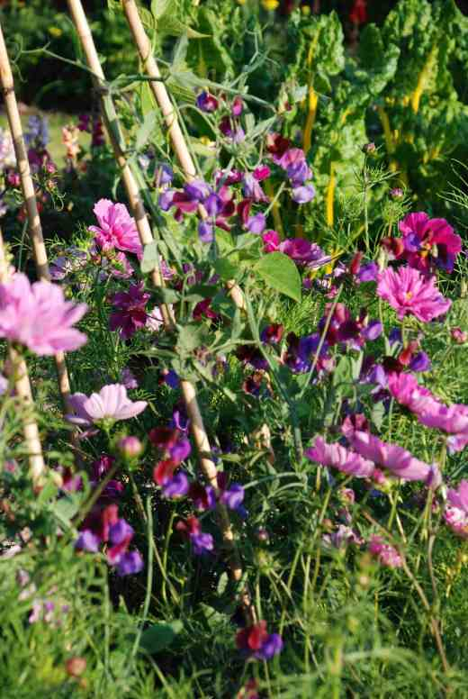 'Matucana' growing up caned with runner beans and cosmos