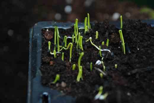 Onion seedlings ready to transplant