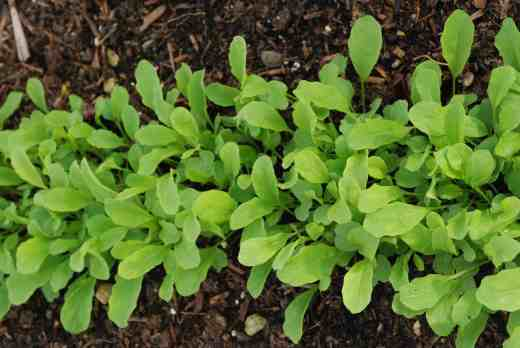 Rocket. This is the easiest of all and the spicy leaves add flavour to supermarket lettuce