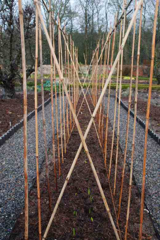 The canes ready for the sweet peas. The canes are set 40cm apart in the rows. The area between the two rows is planted with daffodils for cutting