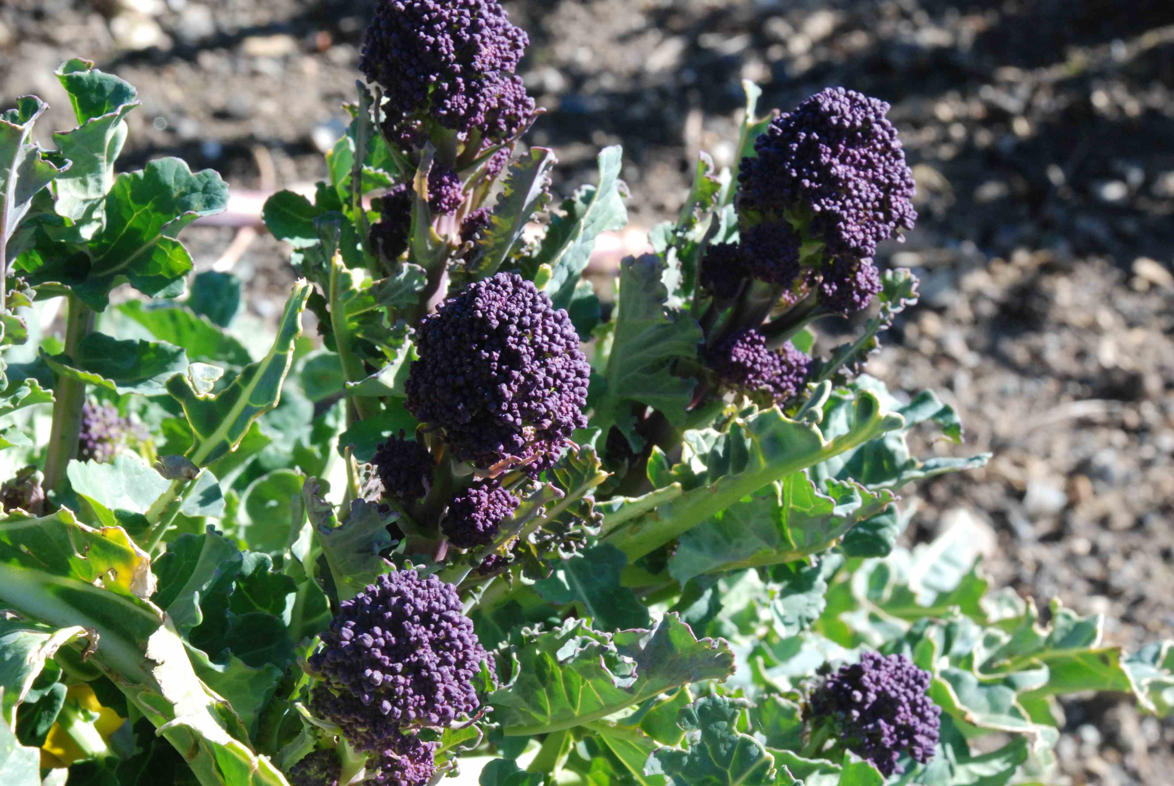 Edible Spring Shoots Broccoli And Mustard The Biking Gardener