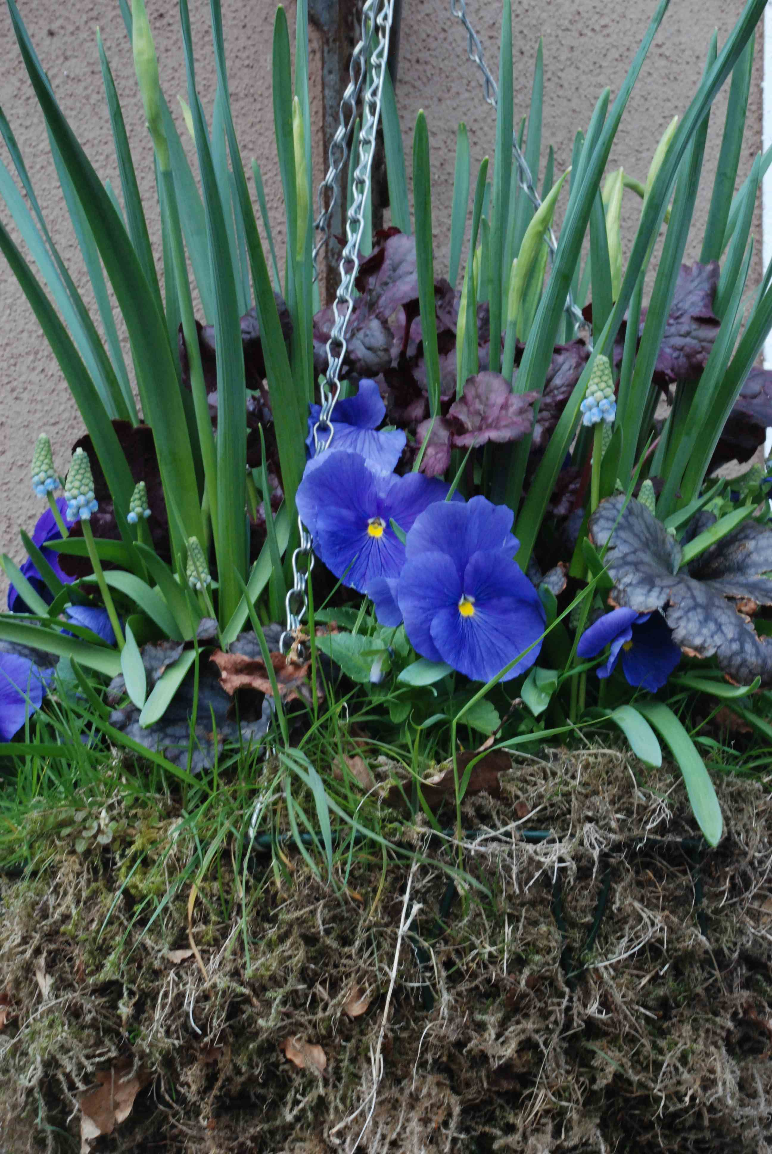Spring containers colour combinations the biking gardener - Purple and blue combination ...