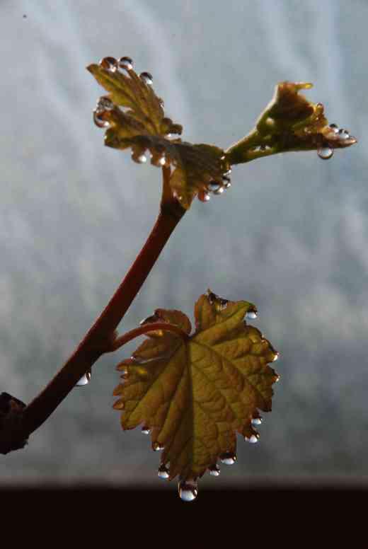 guttation grape