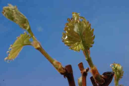 guttation grape2