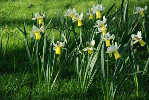 Narcissus 'Surfside' (6W-Y) AGM