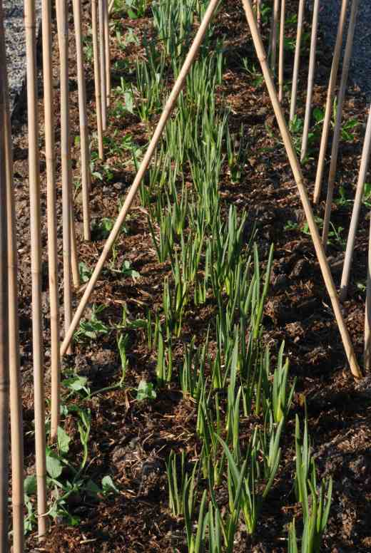 The sweet peas all planted - 52 plants in all, with daffodils for cutting planted between the two rows
