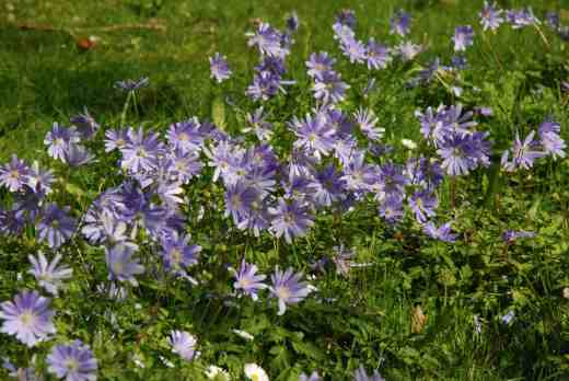 Anemone appenina thriving in the shade of the arboretum
