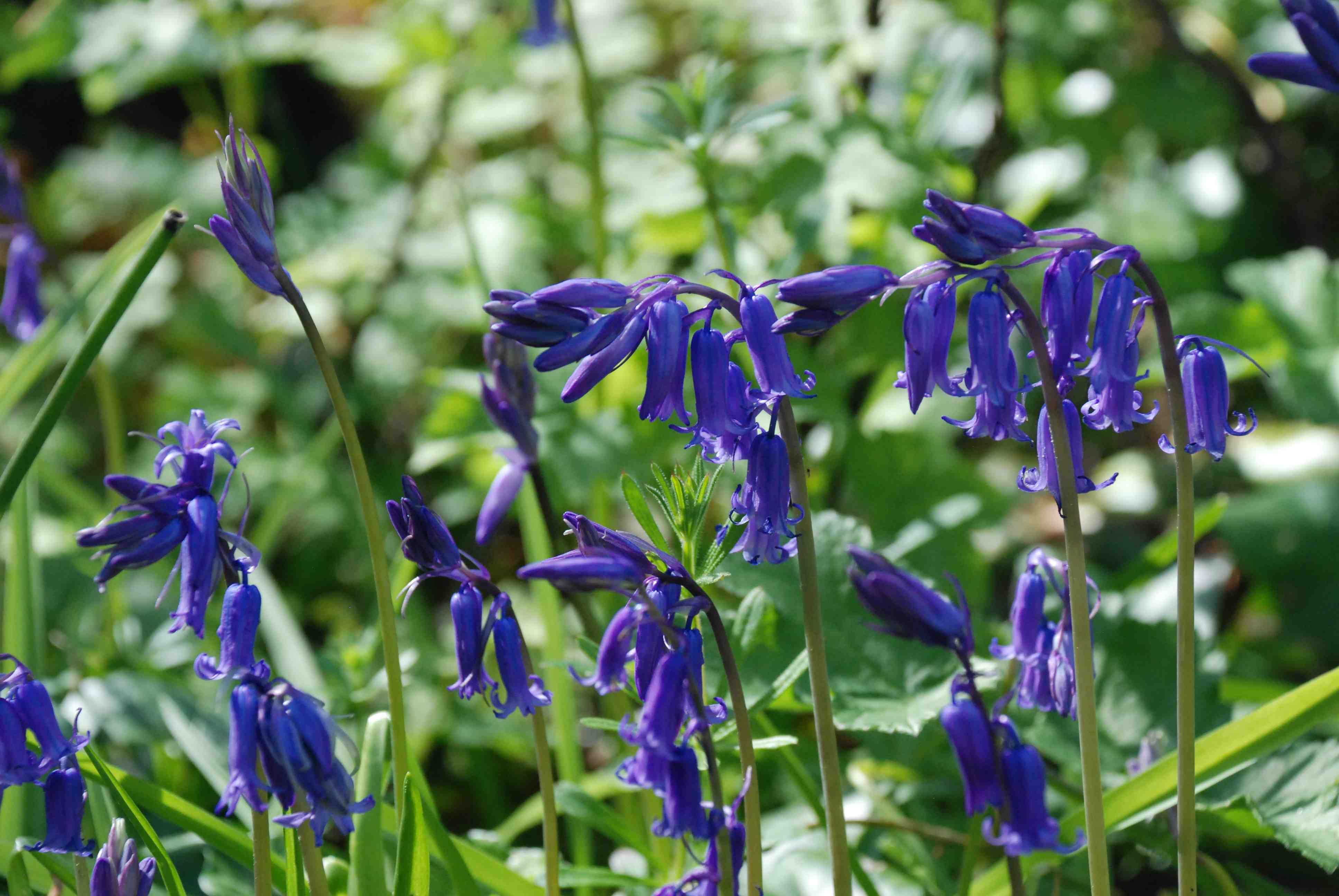 Bluebell time Hyacinthoides non scripta