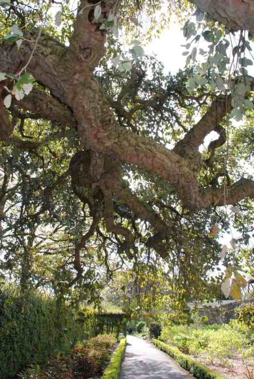 The cork oak in the garden is one of the best I have seen