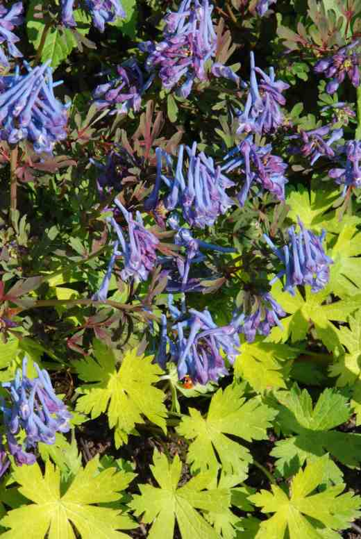 Another good combination, this time of the corydalis with yellow-leaved geranium, possibly 'Anne Folkard'