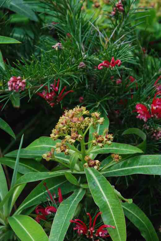 We do not often associate euphorbias with fragrance but the flowers of E. mellifera are strongly scented of honey. It is a slightly tender, evergreen, shrubby species and worth growing for its perfume which is extraordinary