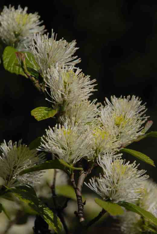 With its brush-like flowers fothergilla is another shrub that cannot be mistaken for any other