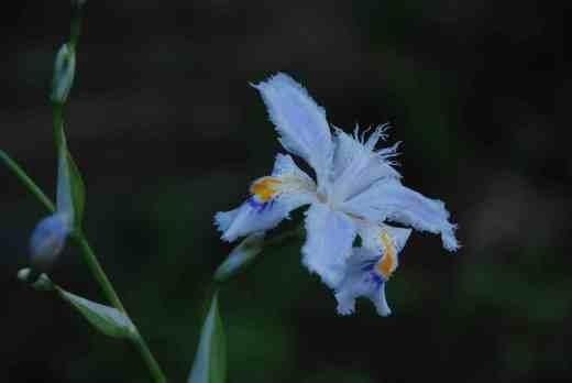 Iris japonica 'Variegata' NOT Iris tectorum 'Variegatum'