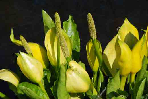 Lysichiton americanum is no delicate beauty and I would have to have a large garden to give it the room it needs but seeing it elsewhere, like here where it can be spectacular now and a huge, lounging lout later is a joy