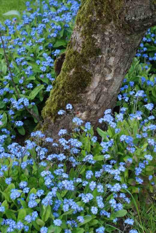 myostis blue
