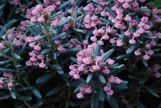 phyllodoce pink