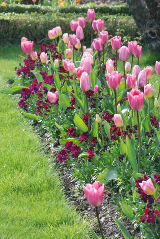 Traditional combination of wallflowers and tulips