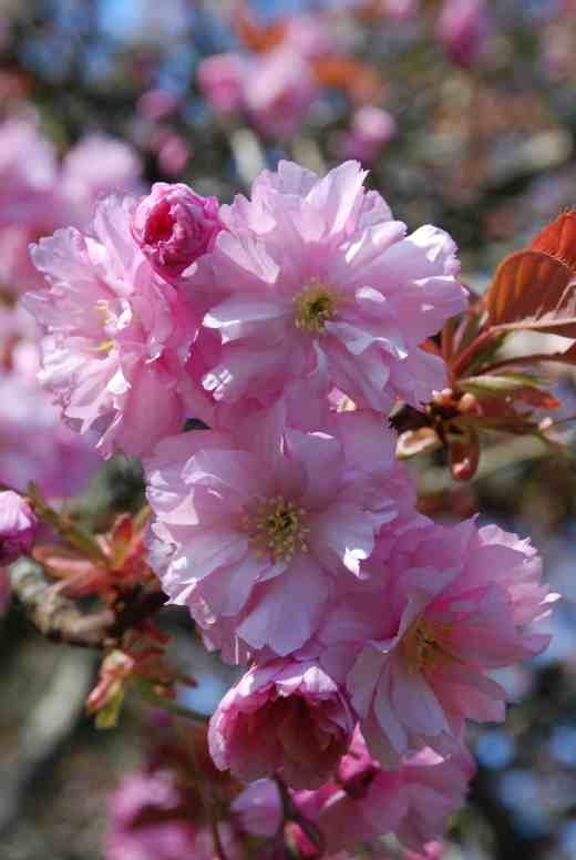 No rarity but who cannot fail to stare in awe at the sheer beauty of Prunus 'Kanzan'