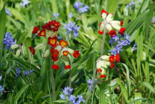 Red cowslips have seeded in the grass by 'The Island' among scillas and wood anemones