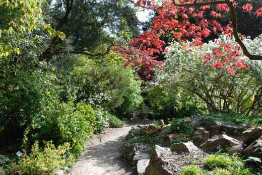 Japanese acers and white-flowered exochorda on the rock garden
