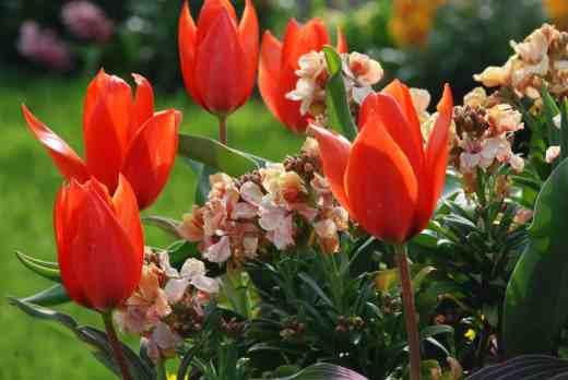 tulipa joanne woodward in cont