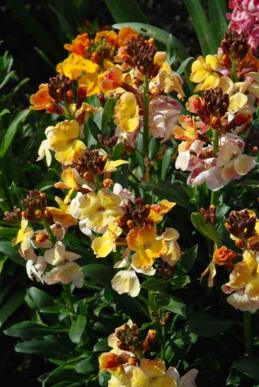 Nothing beats the colour and perfume of wallflowers. Simple, charming and lovely, they just make you smile and breath deeply to inhale their scent. But you need to start early and sow in June or July