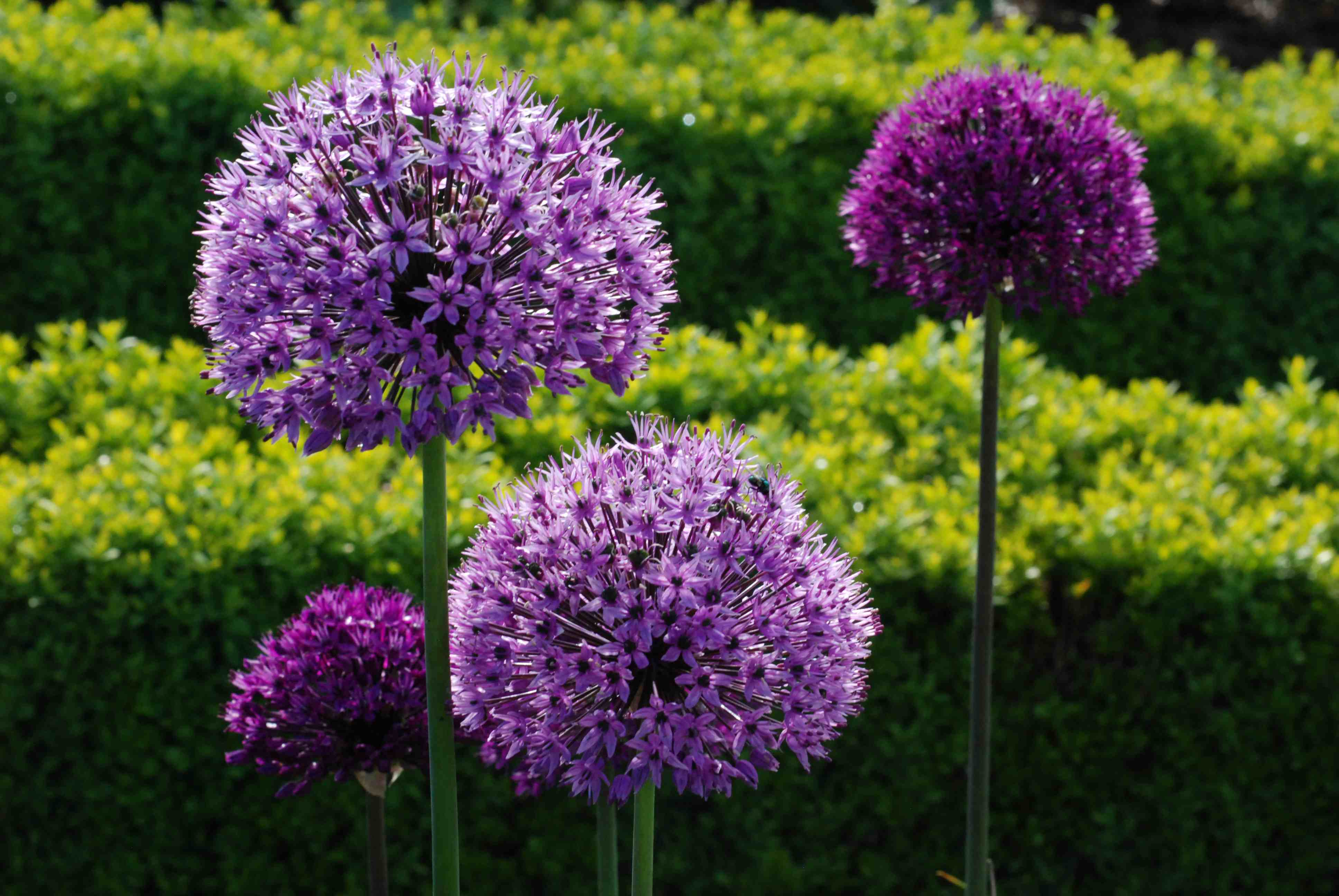 Great balls of flower alliums