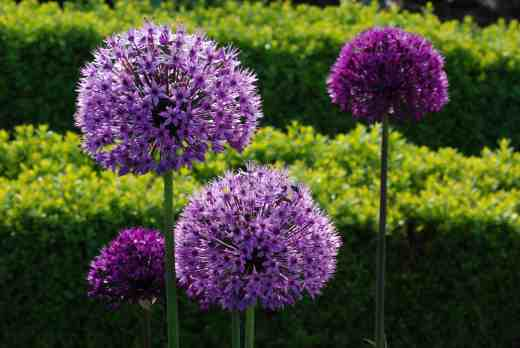alliums may