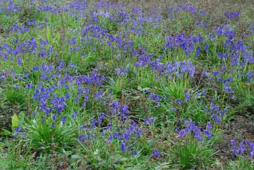 I couldn't work out what the purple haze was among the bluebells ...